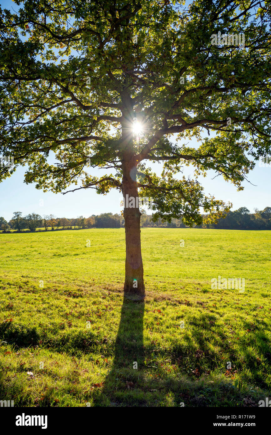 Sunlight shining through a tree in Ashdown Forest, East Sussex, UK - Stock Image