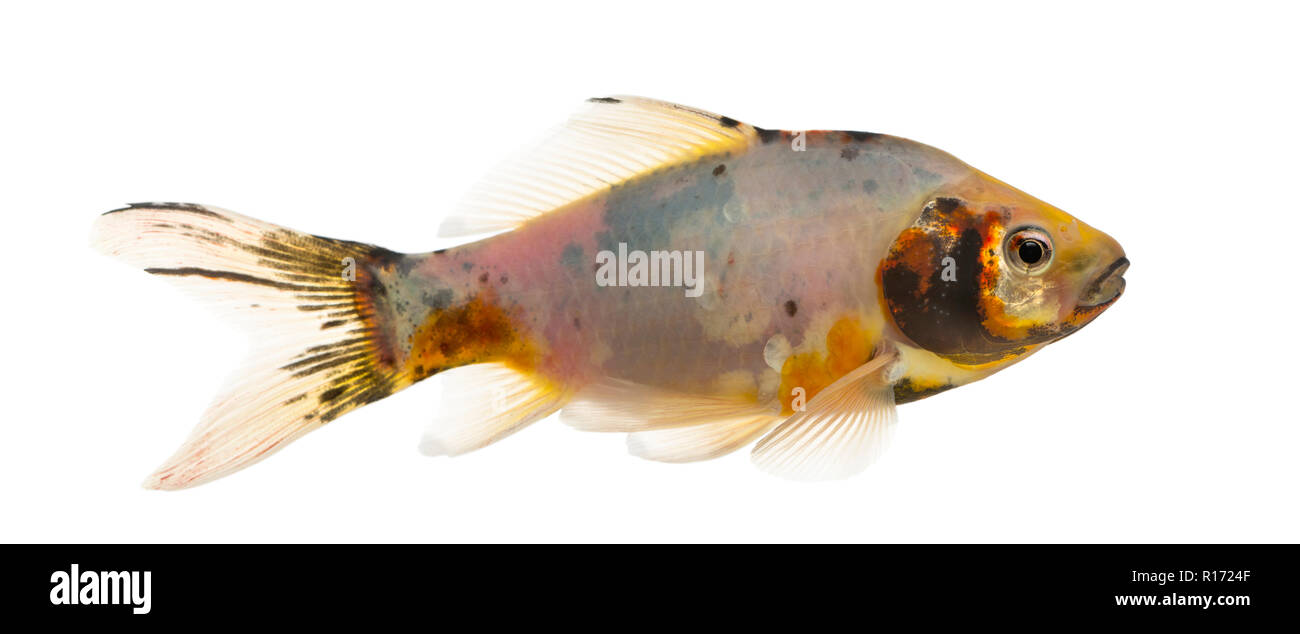 Side view of a Shubunkin, Carassius auratus, isolated on white Stock Photo