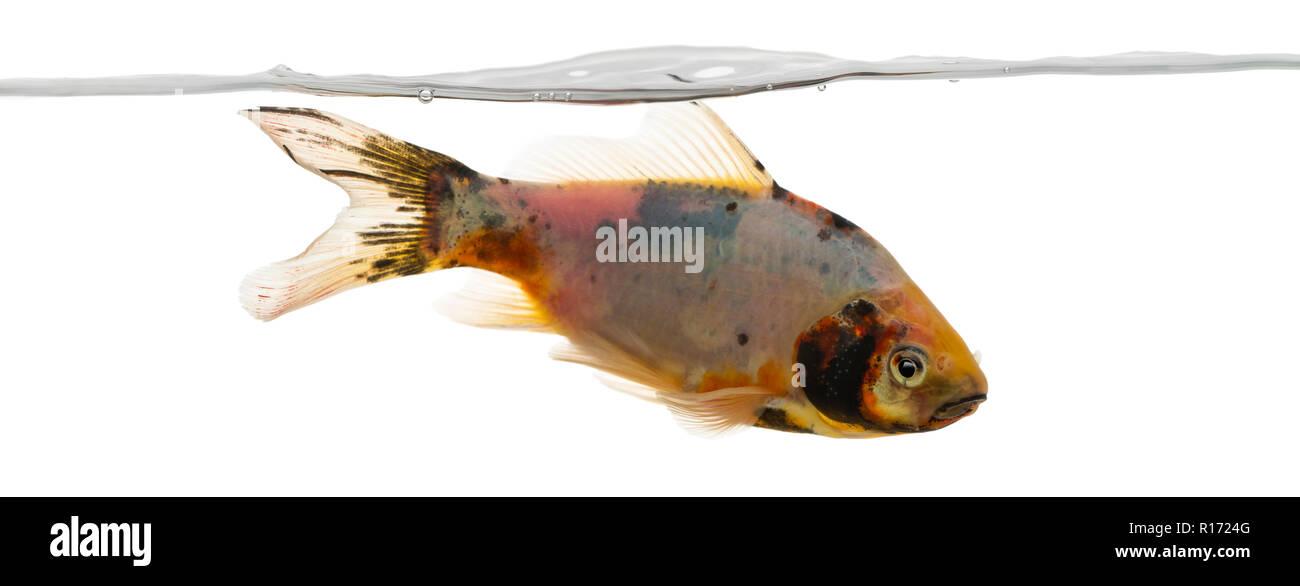 Shubunkin swimming under water line, Carassius auratus, isolated on white Stock Photo