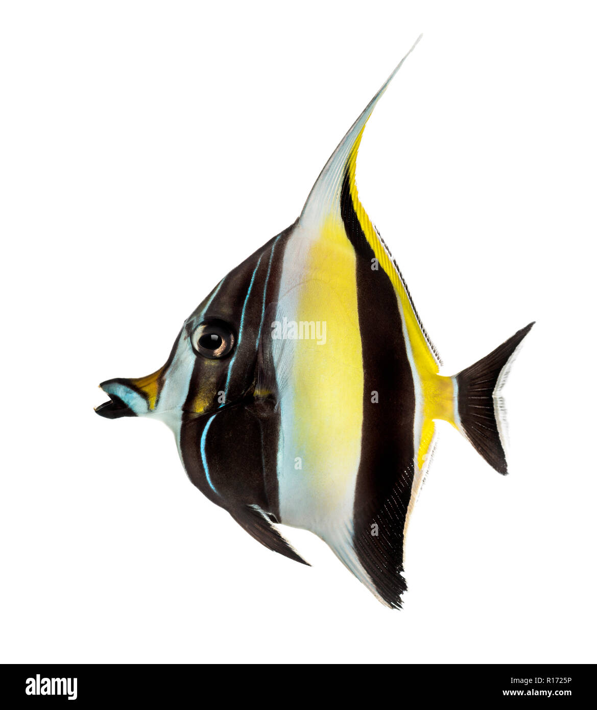 Side view of a Pennant Coralfish, Heniochus acuminatus, isolated on white - Stock Image