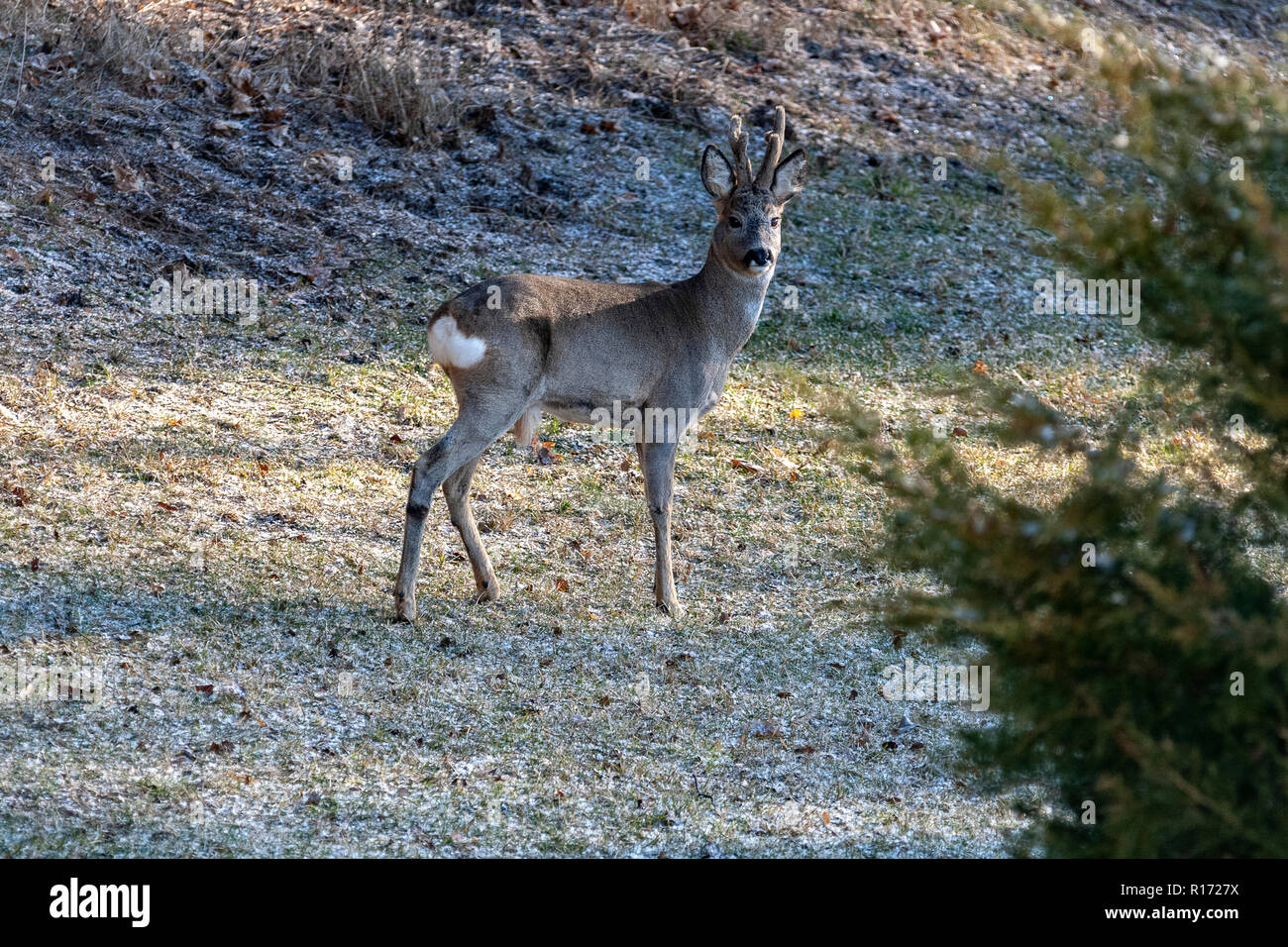 Roe Deer (Capreolus), Europe, Poland - Stock Image