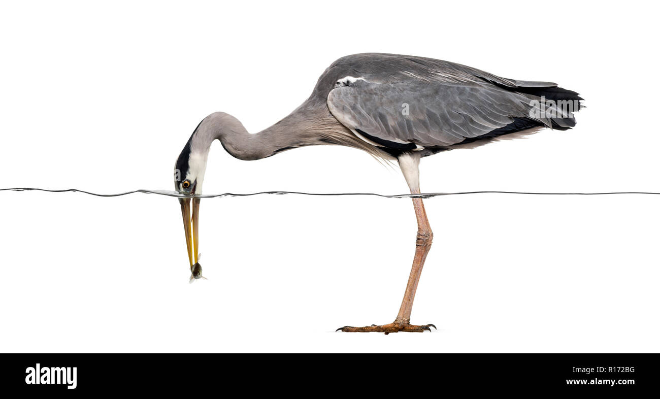 Side view of a Grey Heron catching a fish under water line, Ardea cinerea, isolated on white Stock Photo