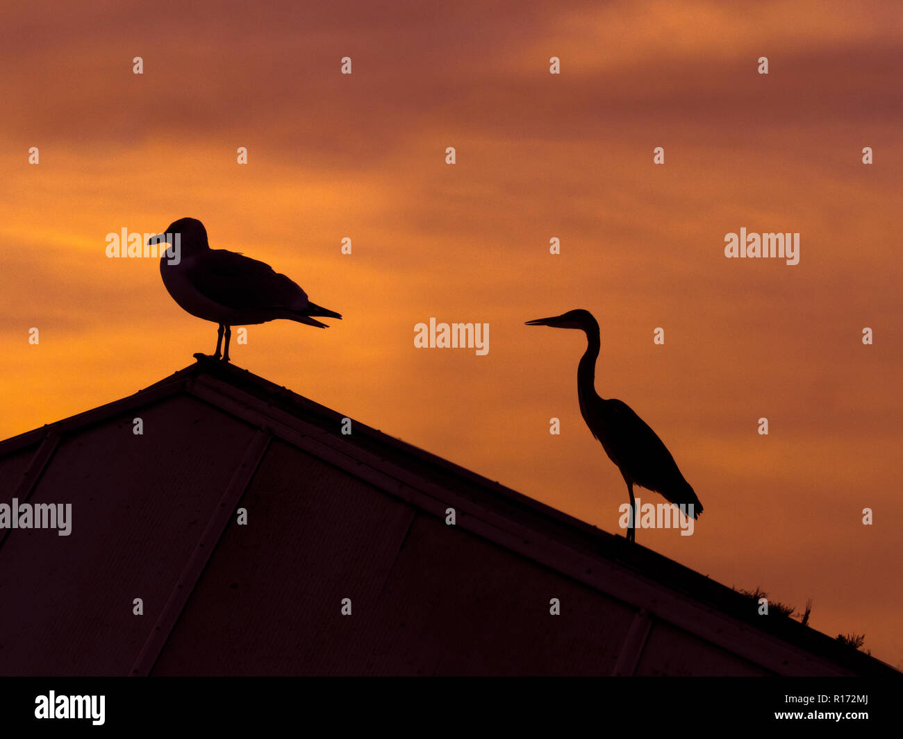 Grey Heron Ardea cinerea and Herring gull on roof of building at sunset - Stock Image