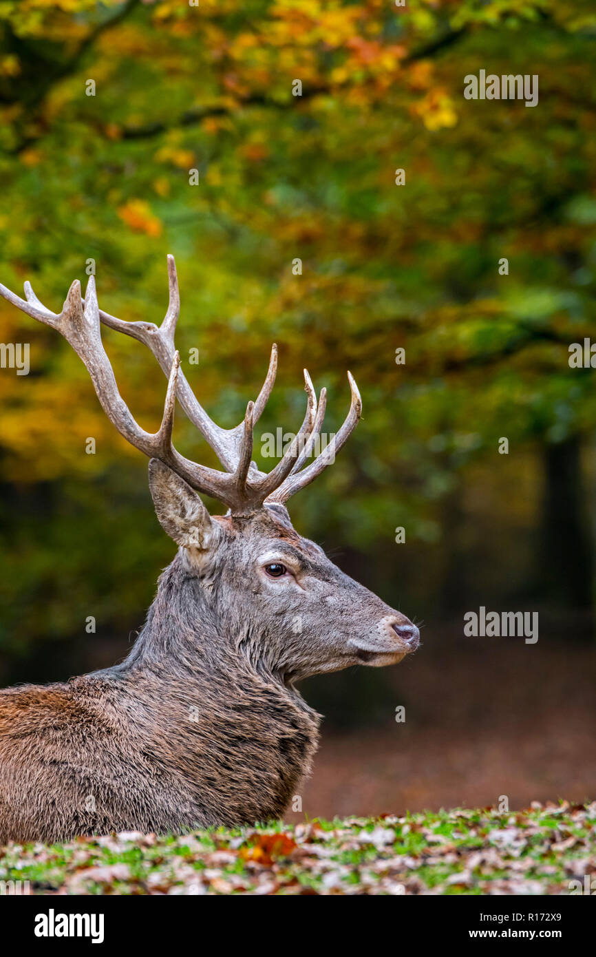 Red deer (Cervus elaphus) stag / male resting in autumn forest in the Ardennes during the hunting season - Stock Image