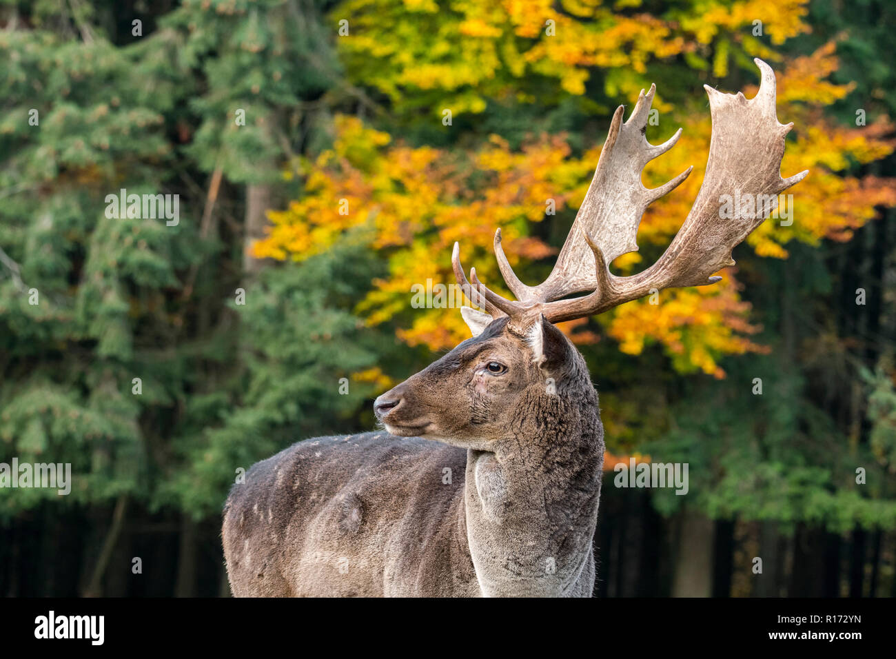 Close up portrait of fallow deer (Dama dama) buck / male with big antlers in autumn forest - Stock Image