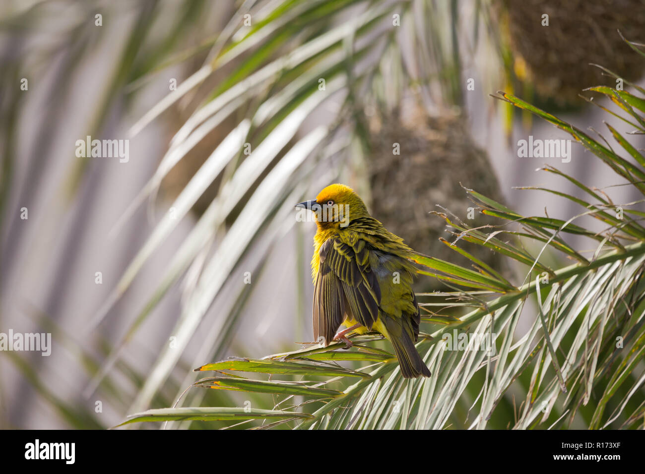 yellow Cape Weaver bird (Ploceus capensis) perches on palm tree frond in front of a woven nest of grass with ruffled feathers and puffed up - Stock Image