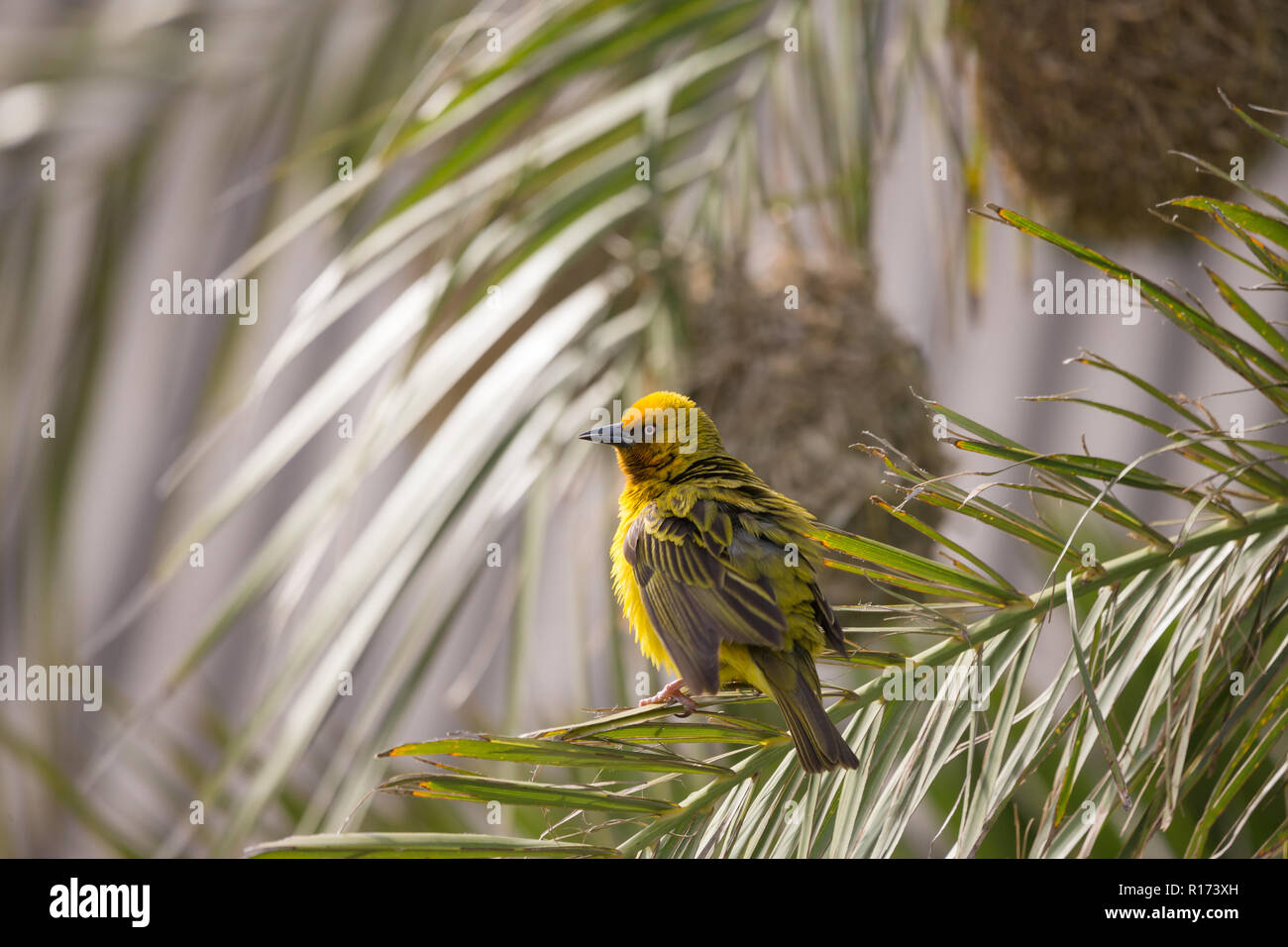 Yellow Cape Weaver bird (Ploceus capensis) perches on a palm frond in front of a woven nest of grass with ruffled feathers and slightly open wings - Stock Image