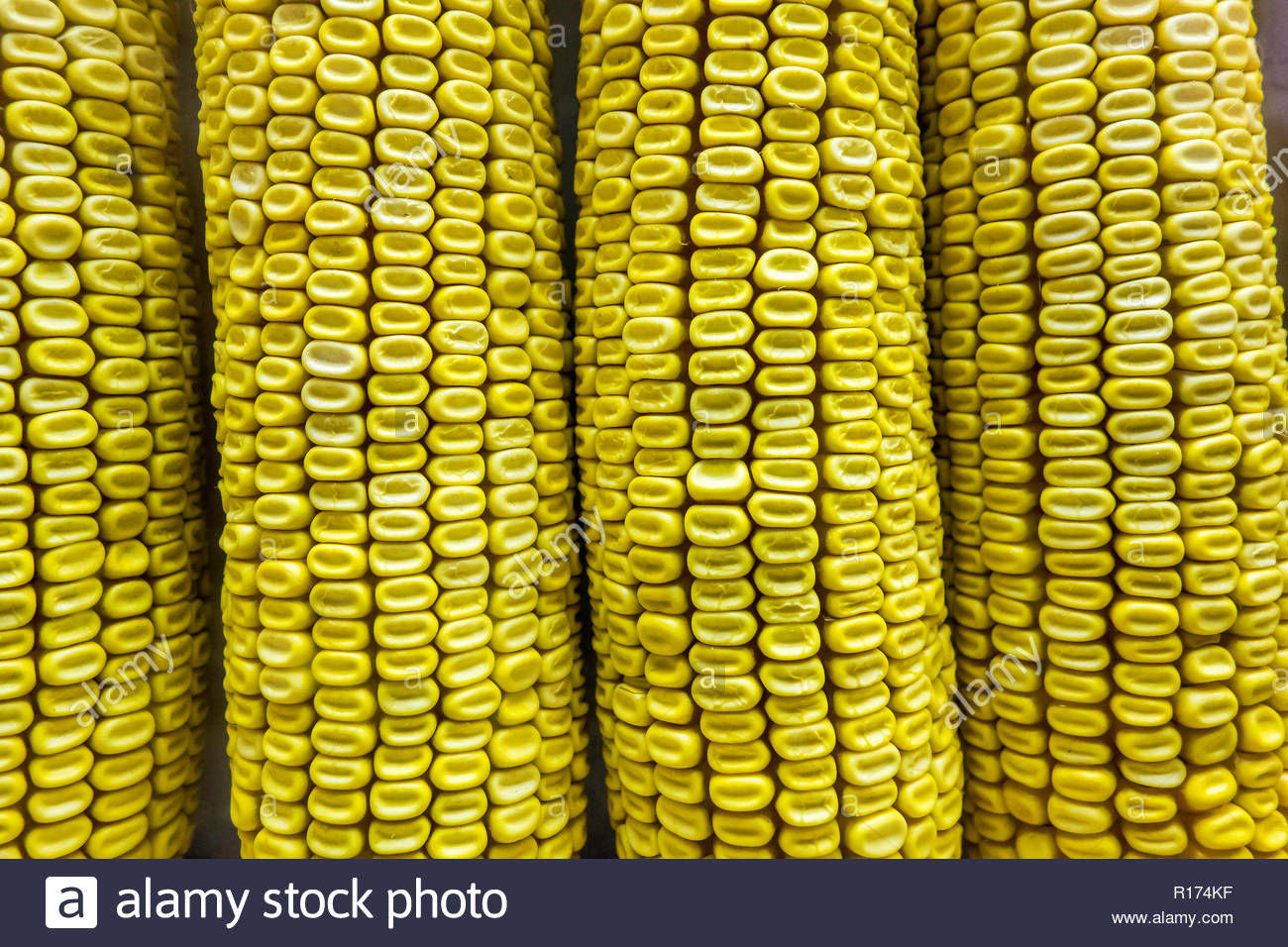 Ears of corn at the Royal Agricultural Winter Fair in Toronto Ontario Canada. - Stock Image