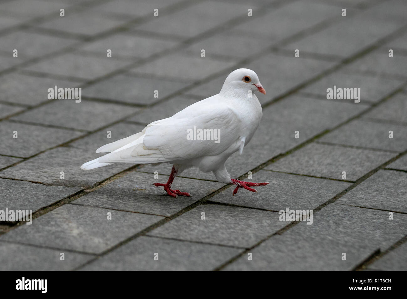 White Pigeon in Blackpool, UK Stock Photo: 224509733 - Alamy