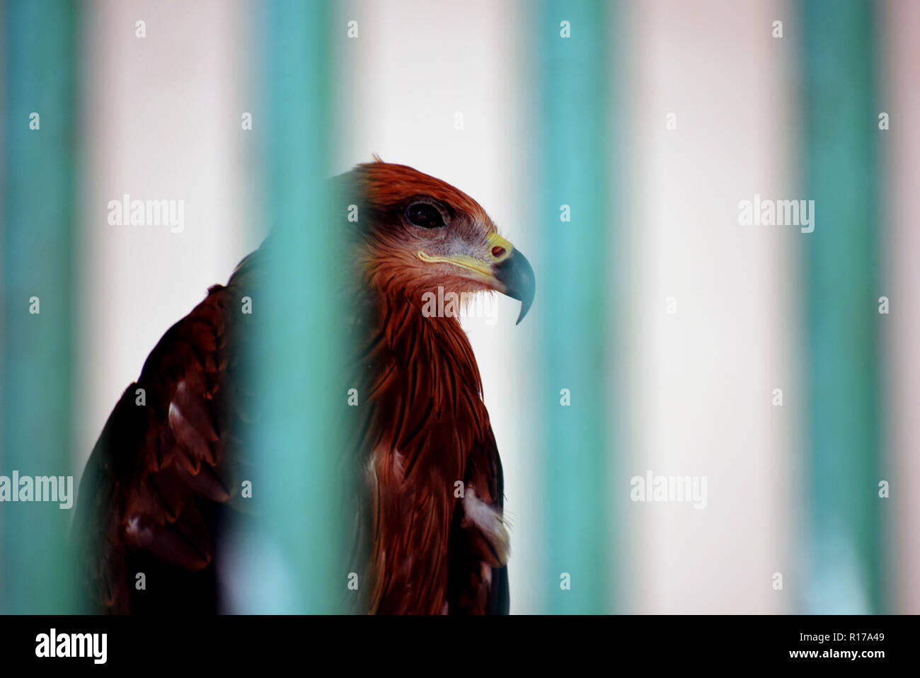 The golden eagle is one of the best-known birds of prey in the Northern Hemisphere. It is the most widely distributed species of eagle. - Stock Image