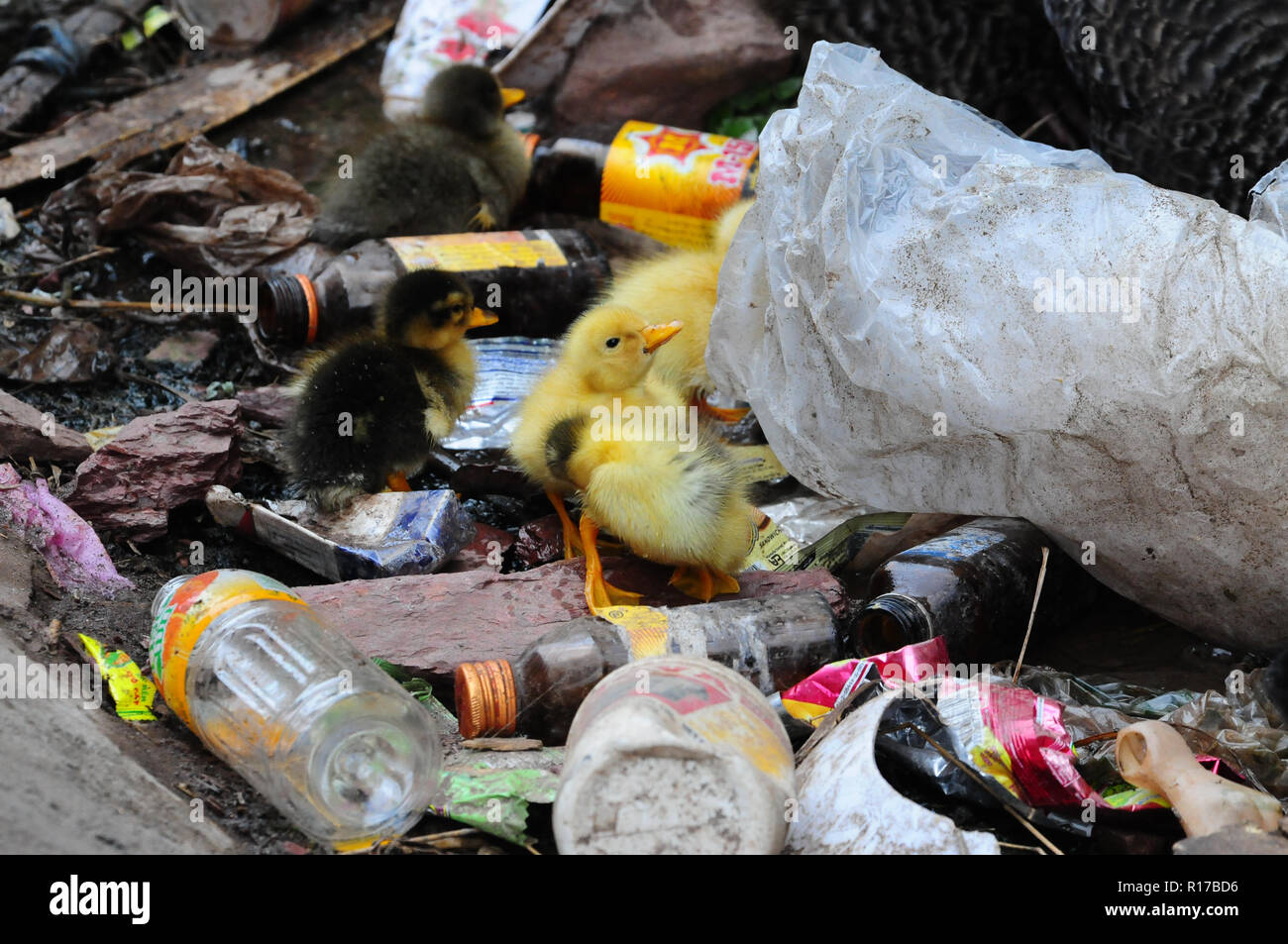Ducklings in the trash near the village Vang Vieng, Laos. - Stock Image