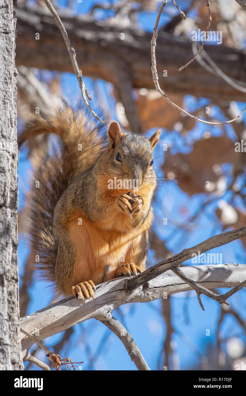 Eastern Fox Squirrel (Sciurus niger) in Plains Cottonwood tree in fall, Castle Rock Colorado US. Photo taken in November. - Stock Image