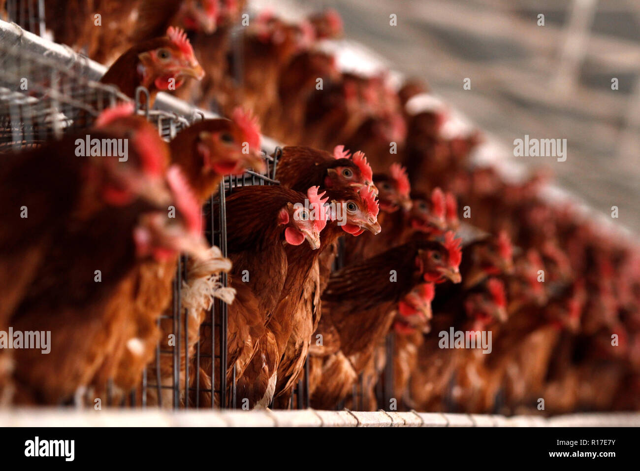MENDOZA, ARGENTINE, August 13, 2014. Chicken hatchery, poultry dedicated to the production of eggs, Luzuriaga of Maipú City, MENDOZA. Foto: Axel Llore - Stock Image