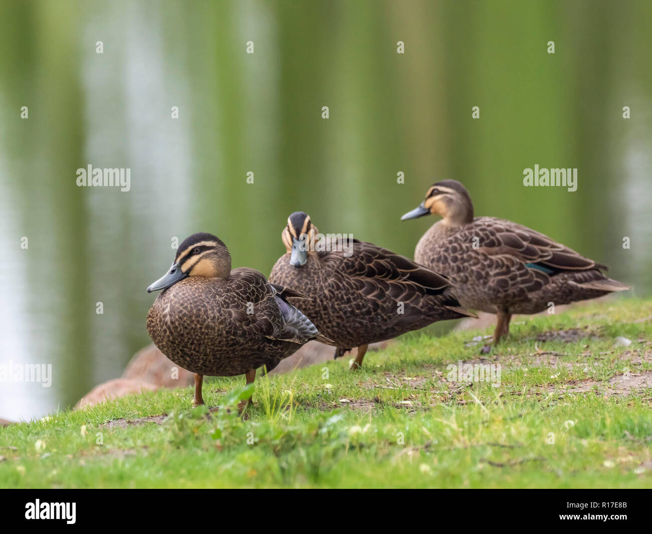 Brown And Black Duck Stock Photos & Brown And Black Duck Stock