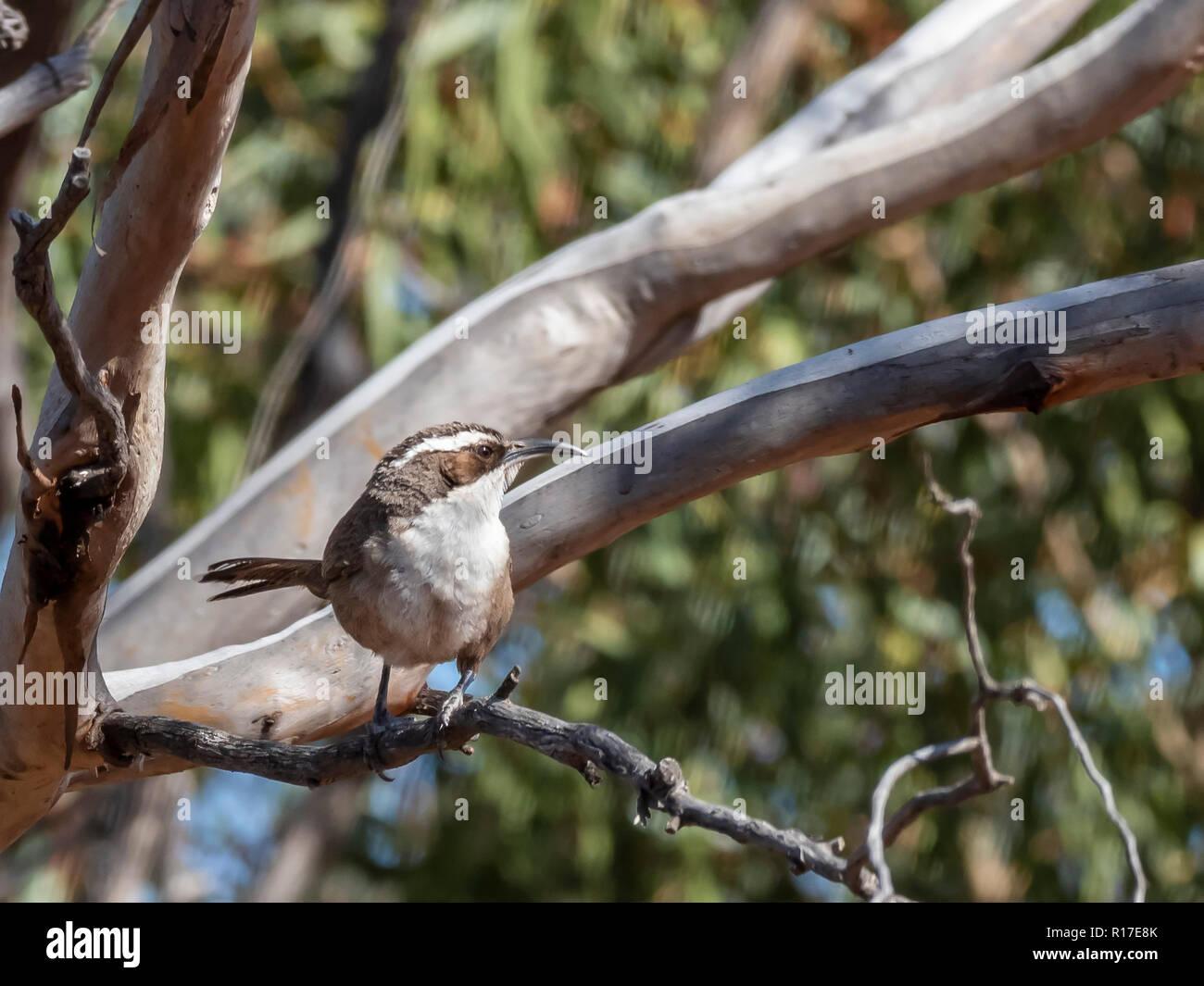 White-browed Babbler (Pomatostomus superciliosus) race 'superciliosus' - Stock Image
