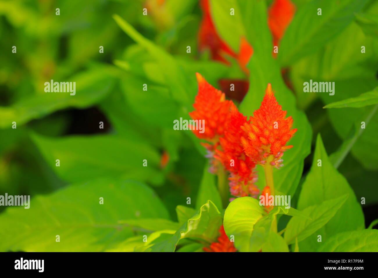 orange plumed cockscomb flower or Celosia argentea beautiful in the garden Stock Photo