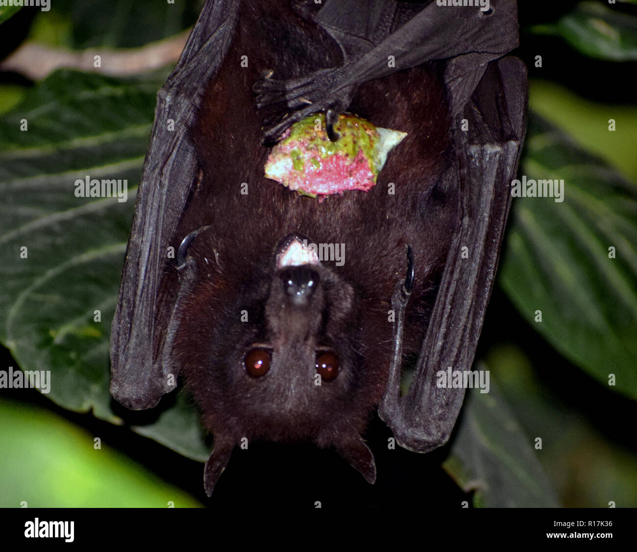 Bats are mammals of the order Chiroptera; with their forelimbs adapted as wings, they are the only mammals naturally capable of true and sustained fly - Stock Image