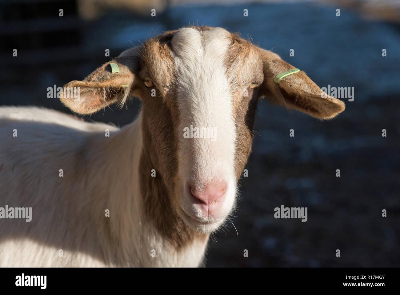Boer cross nanny goat with ear tags, progeny of milking goats kept at a pet, Berkshire, February - Stock Image