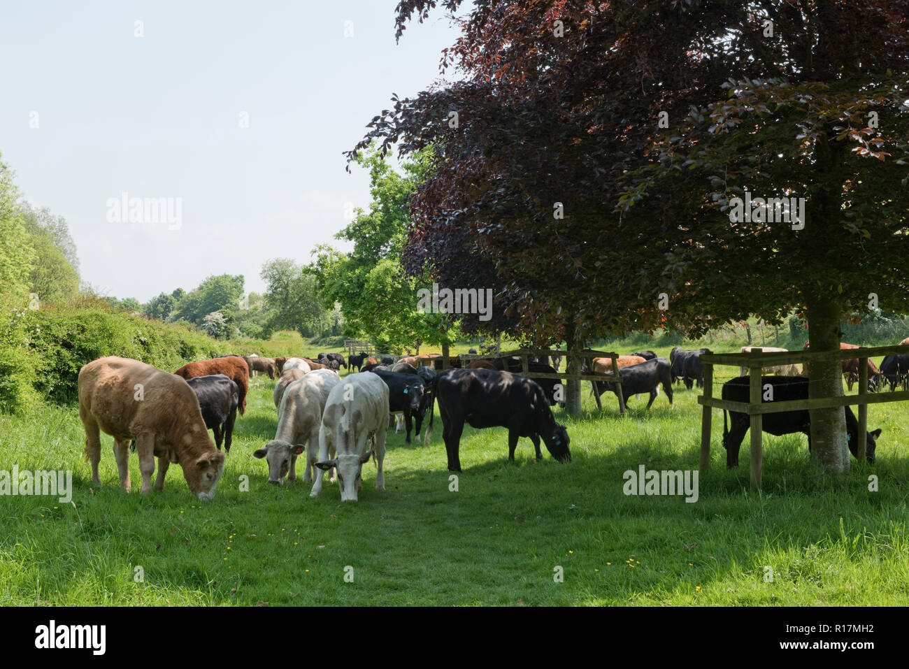 A mixture of breeds of beef cattle grazing on pasture at Hungerford Common in early summer, Berkshire, May - Stock Image