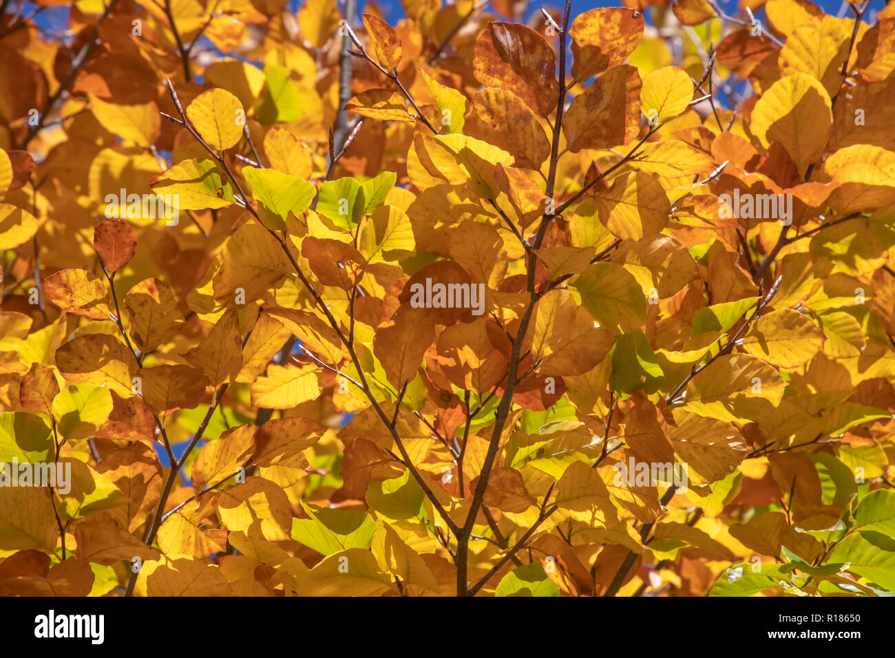 Abstract background with golden, yellow and brown autumn leaves against a blue sky. Greece - Stock Image