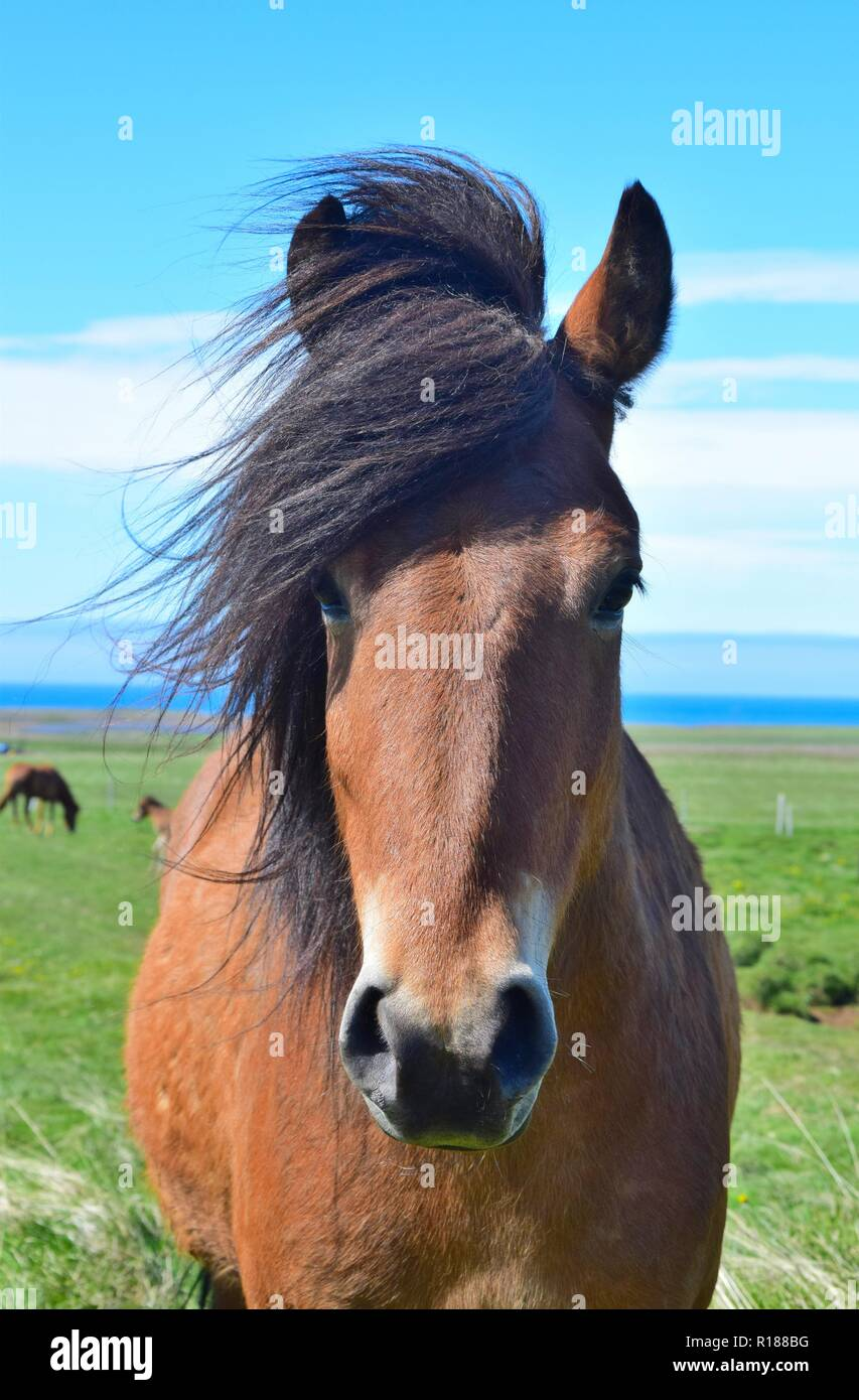 Portrait of a cute Icelandic horse. Bay. Icelandic landscape in the background. Stock Photo