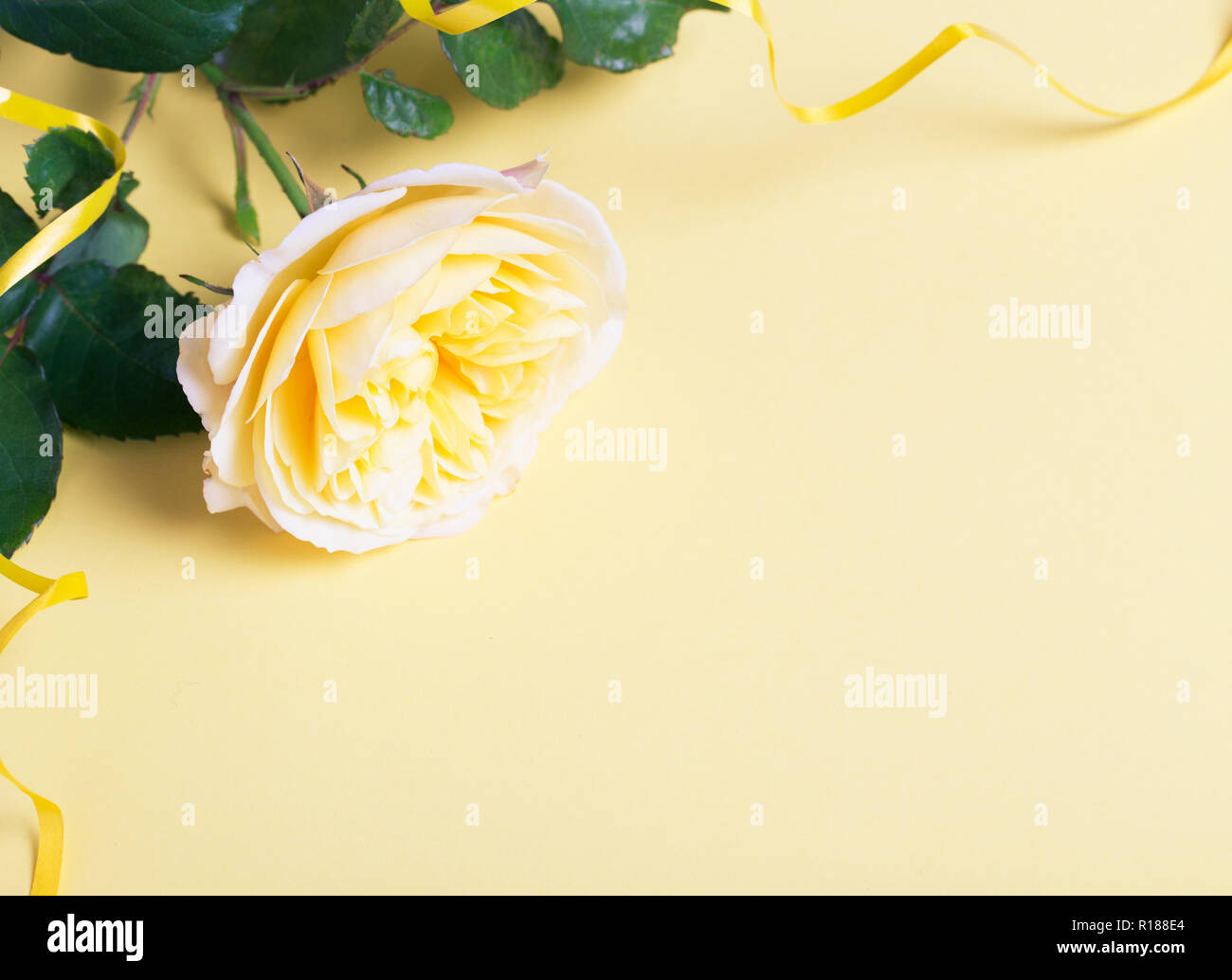 Festive flower English rose composition with ribbon and beautiful bokeh on the yellow background. Overhead top view, flat lay. Copy space. Birthday, M Stock Photo
