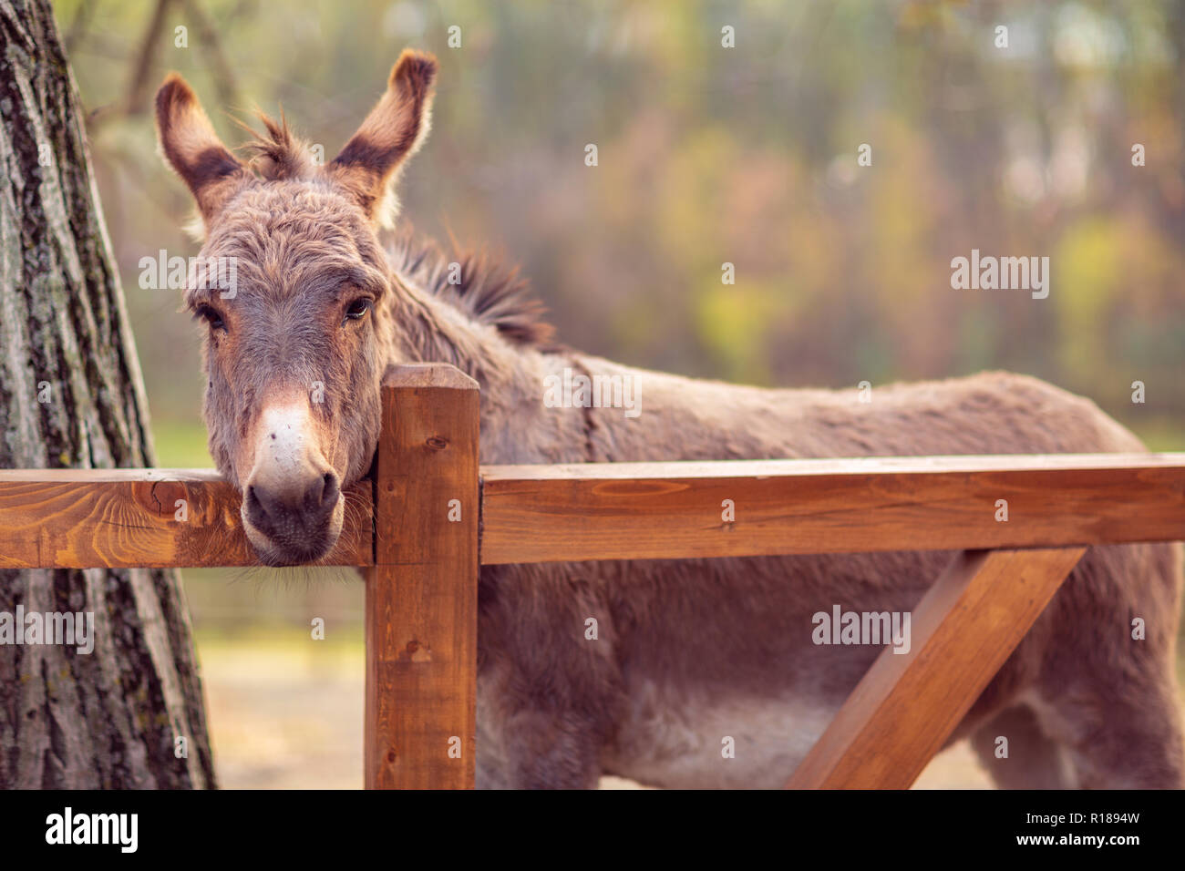 beautiful brown young donkey outdoors in farm Stock Photo