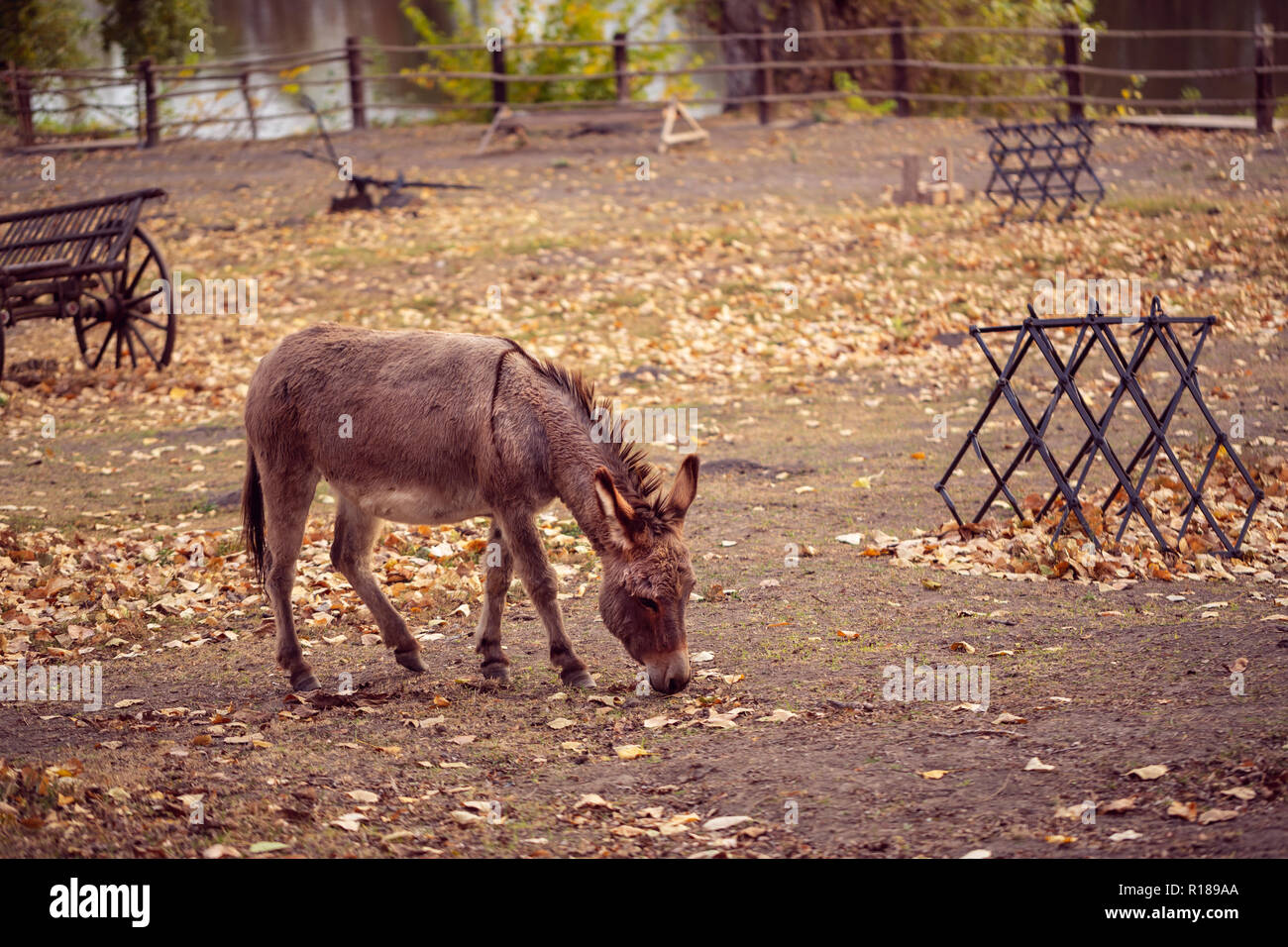 The brown donkey (domesticated member of the horse family) is eating Stock Photo