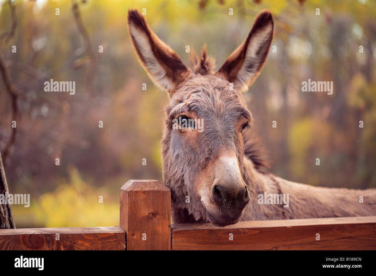 funny brown donkey domesticated member of the horse family - Stock Image