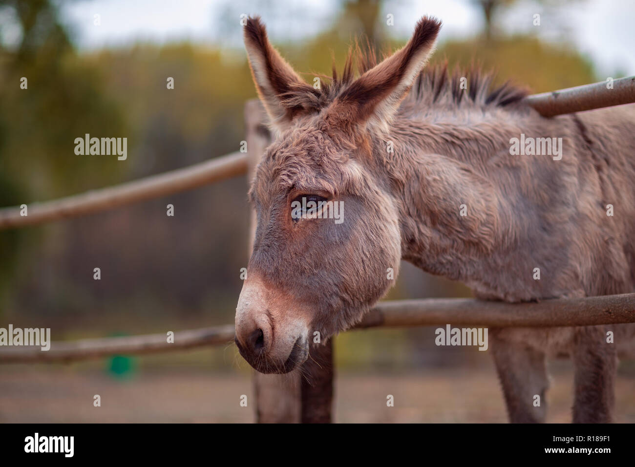 Beautiful Friendly brown donkey outdoors in farm - Stock Image