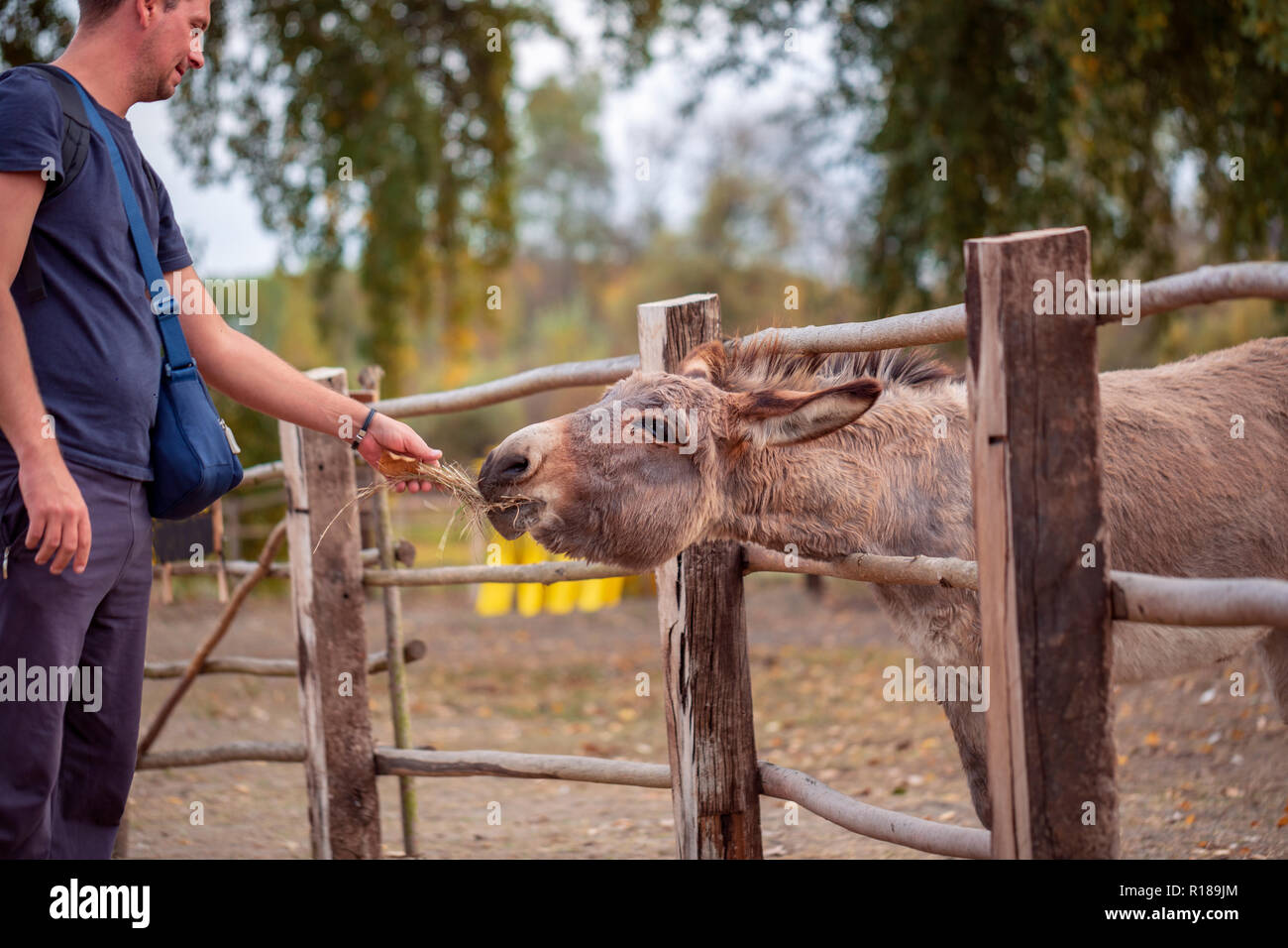 Young man feeds a beautiful donkey - Stock Image