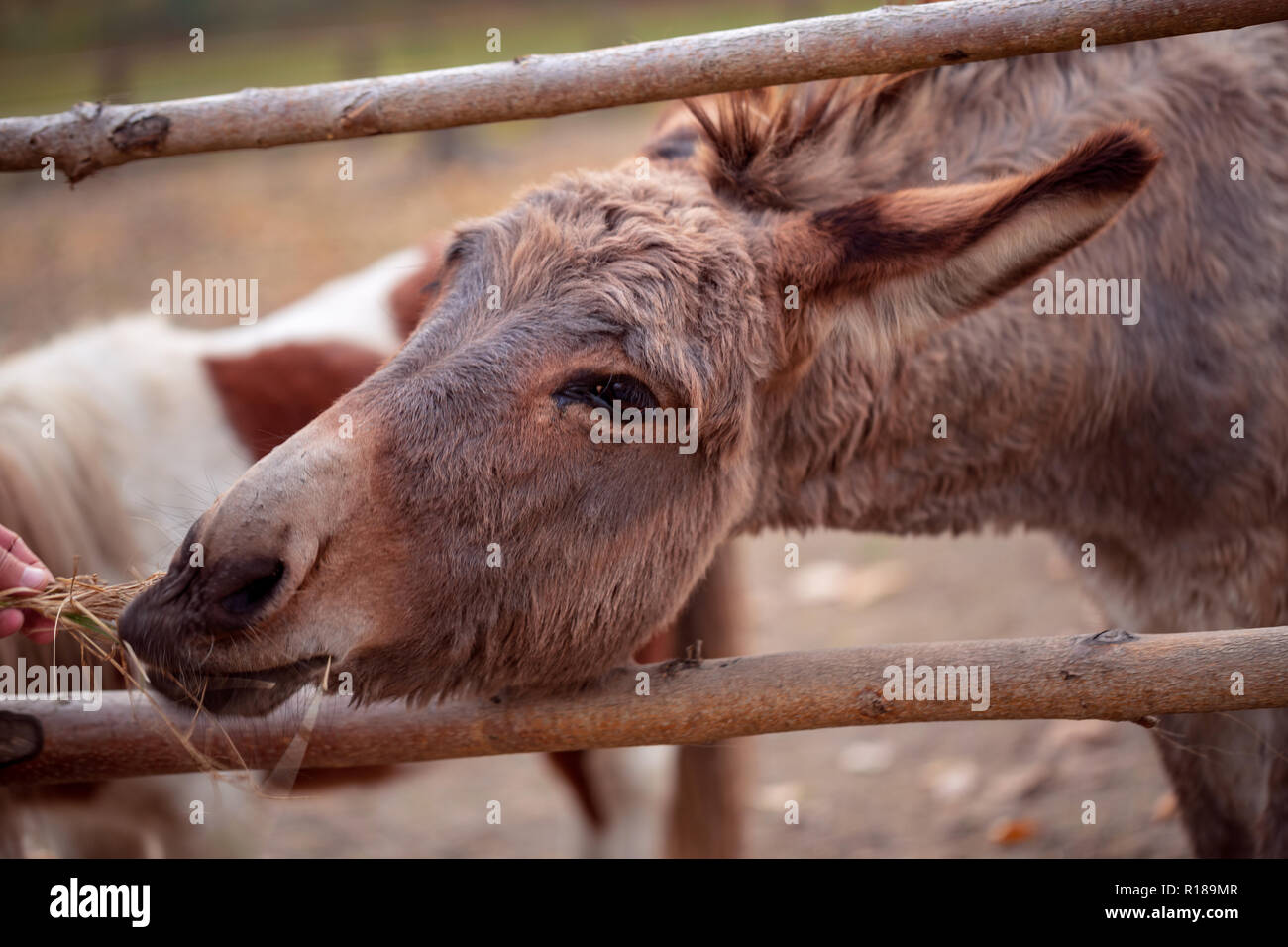 Young man feeds a beautiful donkey close up - Stock Image