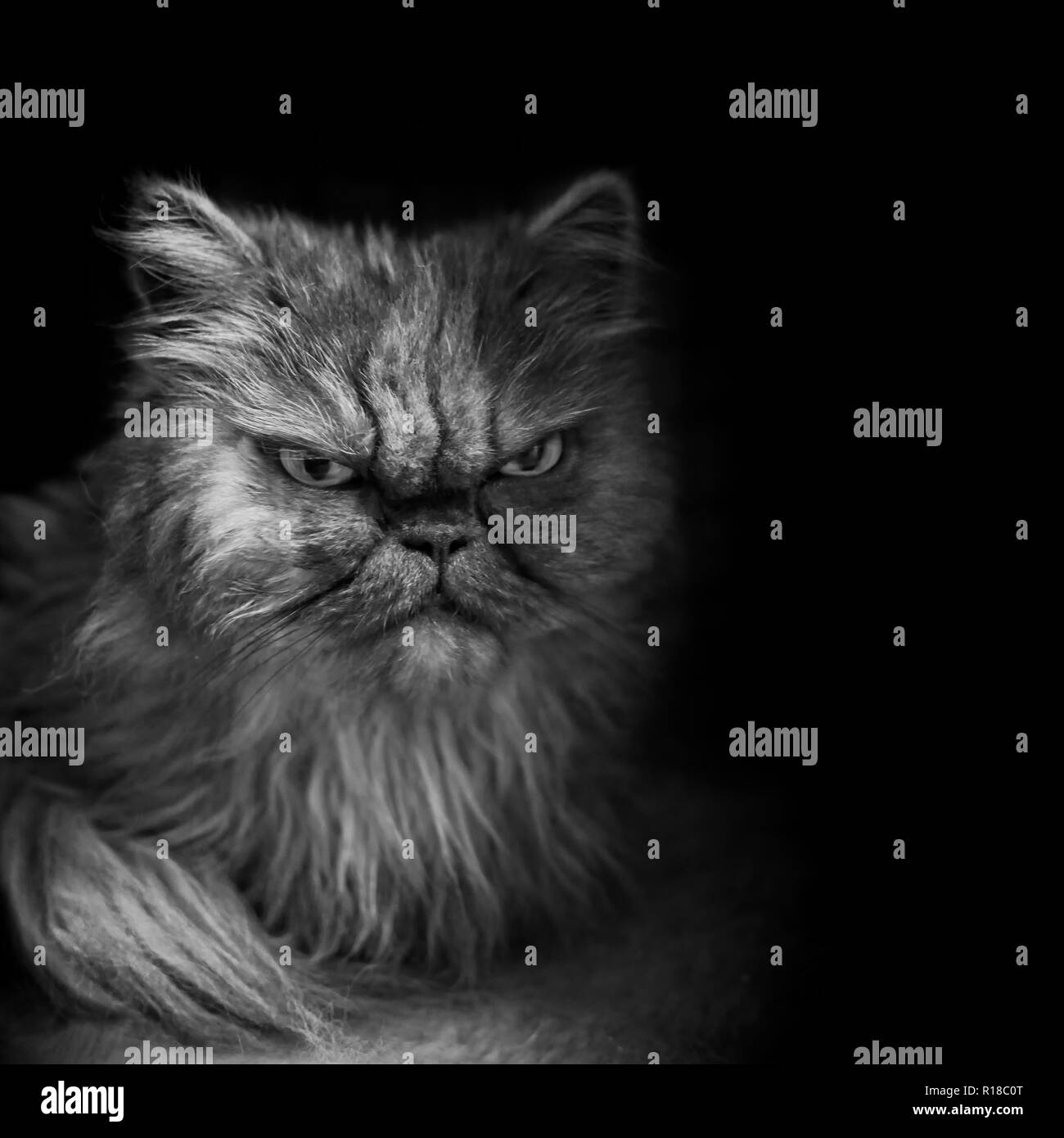 Young persian cat looking angry  - Black and white portrait. - Stock Image