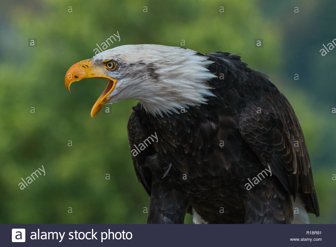 The Bald Eagle is an unforgettable animal. Its white head and tail, eight-foot wingspread, piercing eyes, massive hooked beak and powerful talons make Stock Photo