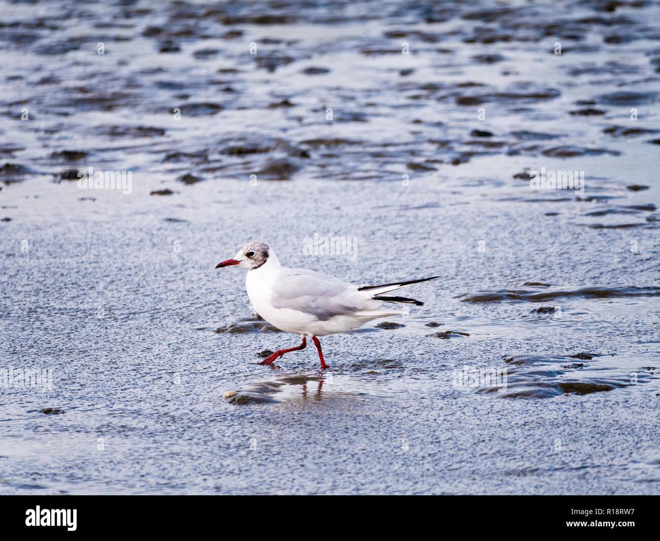 Adult black-headed gull, Chroicocephalus ridibundus, in non-breeding plumage wading in shallow water, Netherlands Stock Photo