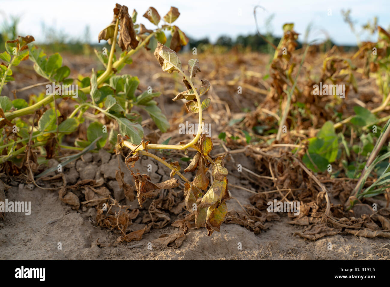 In the hot summer, the dryness destroys the cultivated potatoes in Soest, North Rhine Westphalia, Germany. The plants are dried up in the rows on the  - Stock Image