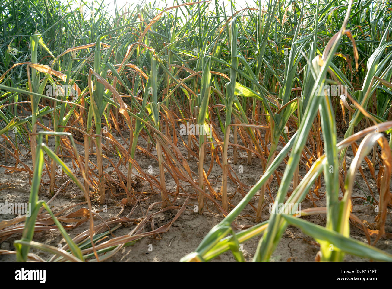 In the hot summer, the dryness destroys the cultivated maize in Soest, North Rhine Westphalia, Germany. The plants dry up from the bottom upwards. The - Stock Image