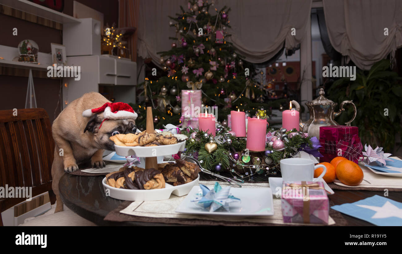 Christmas, a laid table - a pug sniffs at the cookies - Stock Image