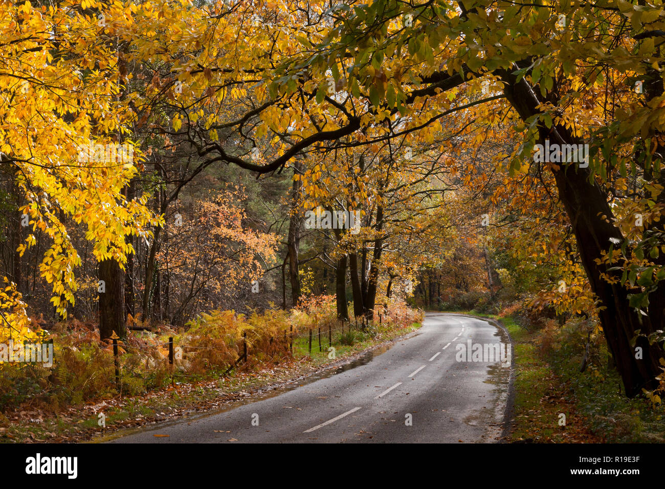 autumnal colours in Crooksbury woods on the road between Elstead & Seale, near Farnham & Godalming, Surrey, England Stock Photo