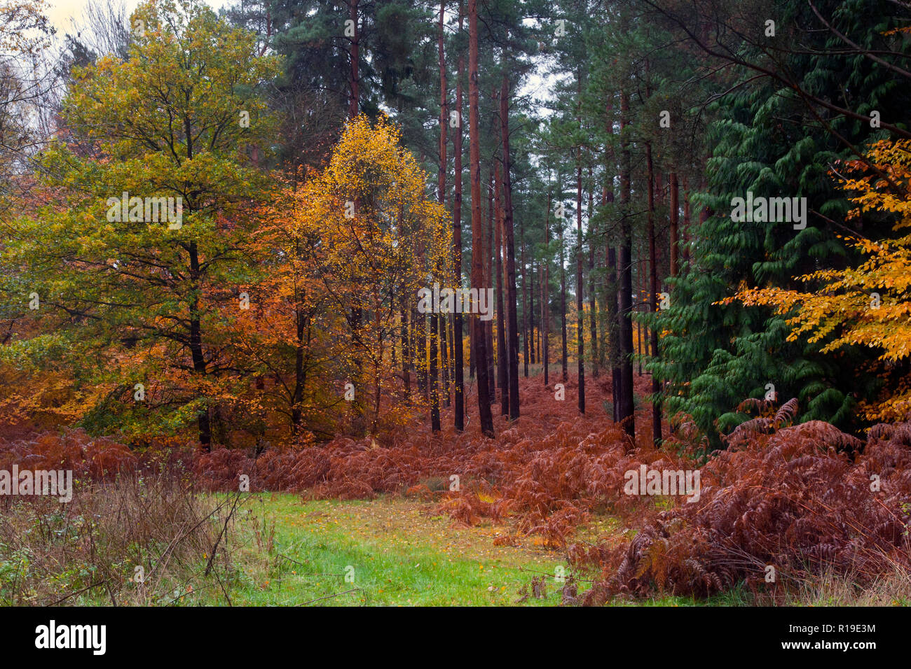 autumnal colours in Crooksbury woods on the road between Elstead & Seale, near Farnham & Godalming, Surrey, England Stock Photo