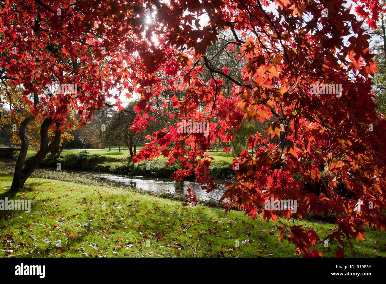 the vibrant colours of red maple tree (Acer rubrum) in autumn, Surrey, England Stock Photo