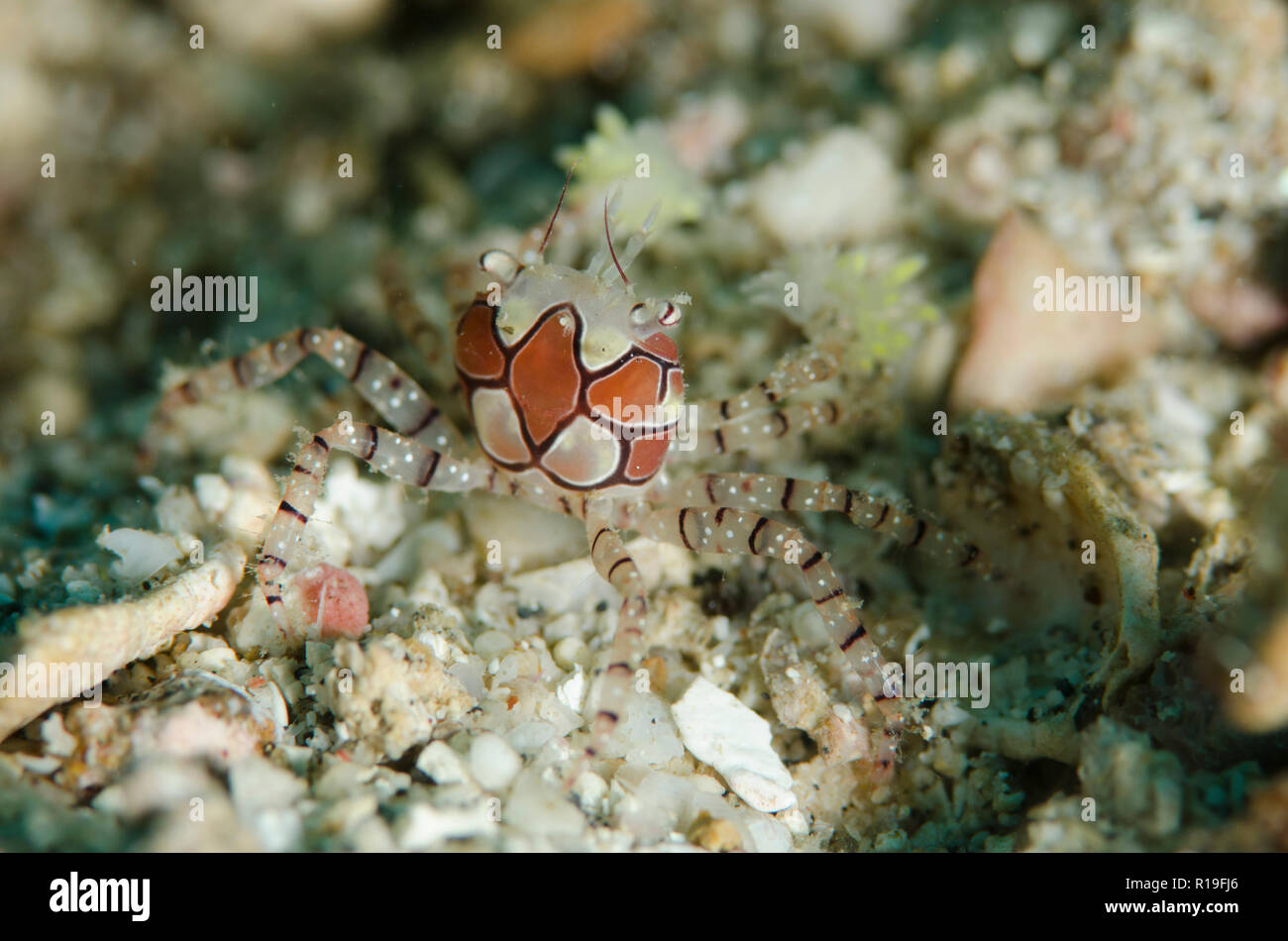 Pom-pom Crab, Lybia tesselata, with anemones on legs for protection, Batu Merah dive site, Lembeh Straits, Sulawesi, Indonesia - Stock Image