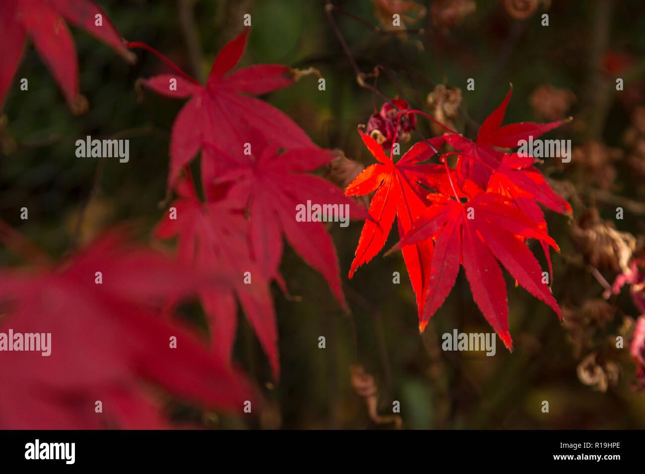 Acer Palmatum Bloodgood, a Japanese maple, in autumn in a Devon garden. Stock Photo