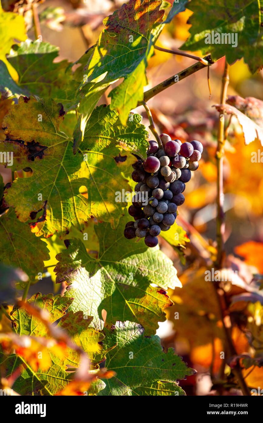 Red grapes in vineyard in late autumn colours Stock Photo