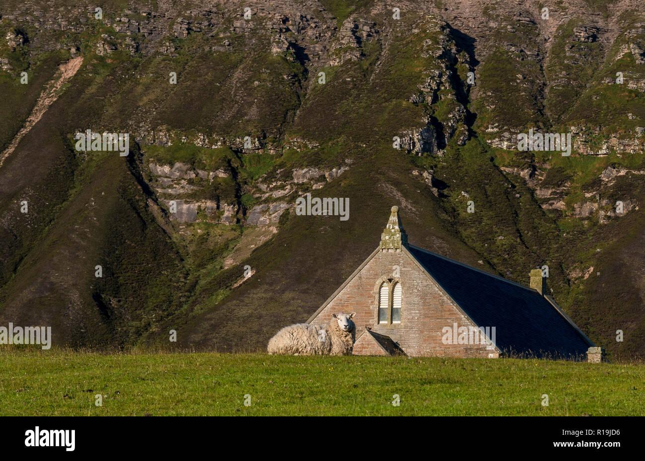 Sheep and Kirk, Church Gable end, Ward Hill, Hoy - Stock Image
