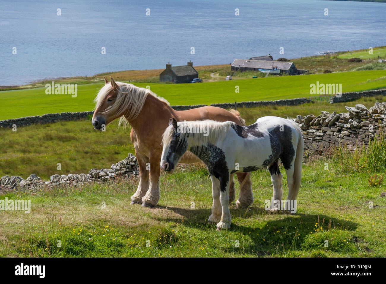 Beautiful ponies in summer pasture on Rousay, Orkney - Stock Image