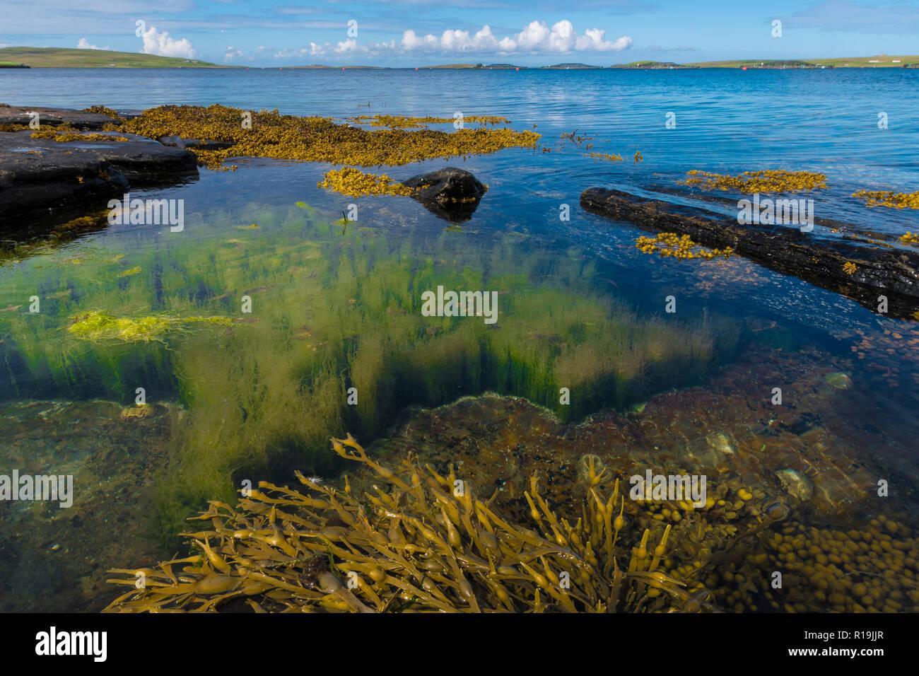 Pristine inshore habitat with Kelp on Rousay, Orkney - Stock Image