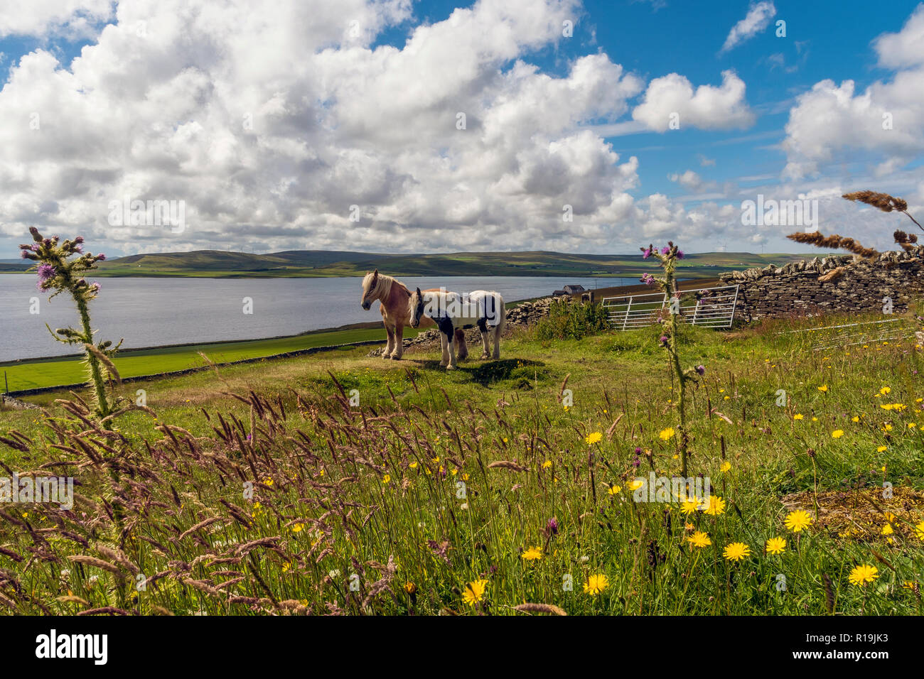 Piebold ponies on Rousay, Orkney - Stock Image