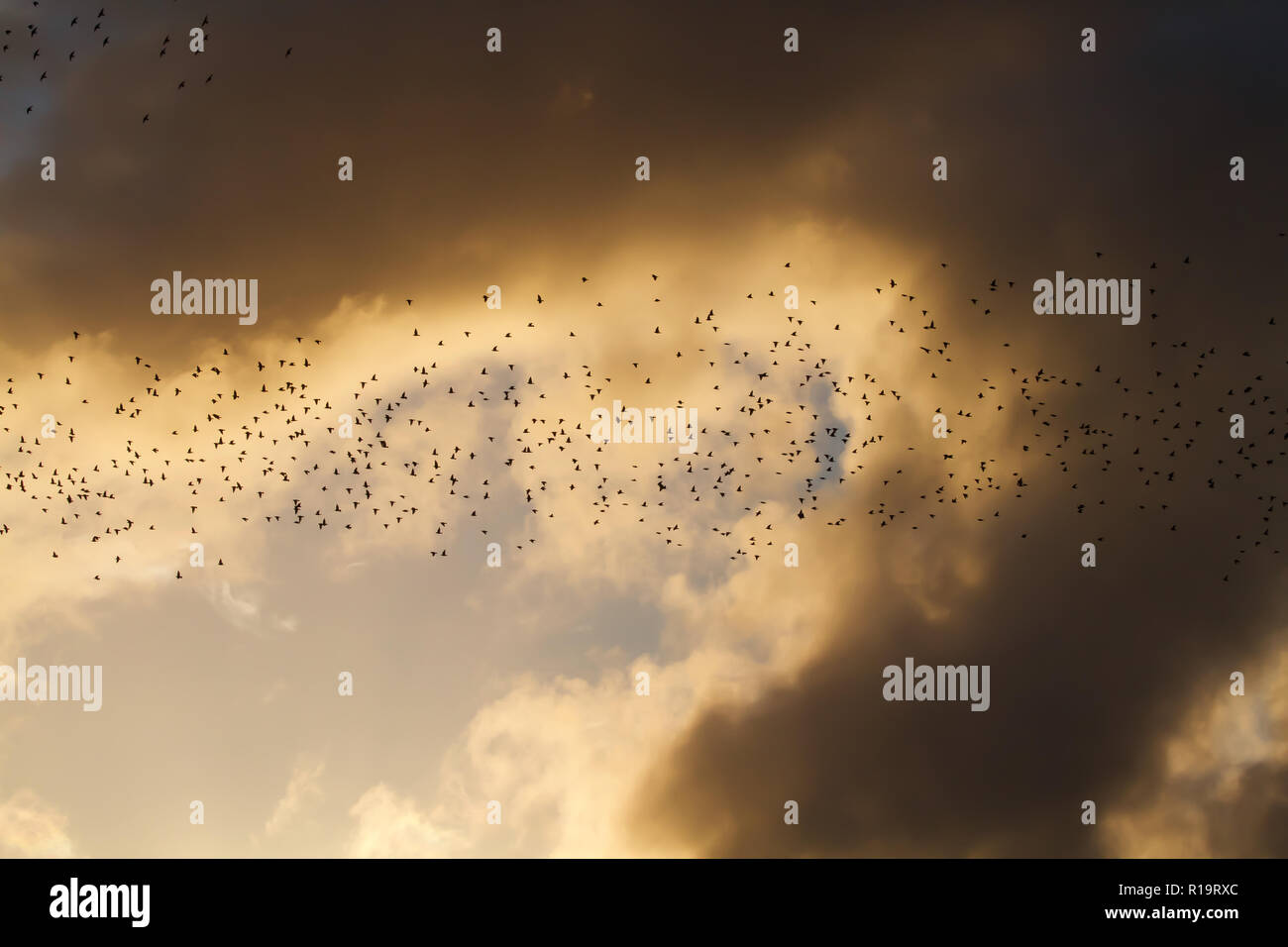 Aberystwyth,UK,10th November 2018,Starling Murmuration in Aberystwyth, Wales, as the sunsets on a windy Autumn afternoon Hundreds of starlings form amazing patterns and shapes as they group together before going under the pier to roost for the night.Credit: Keith Larby/Alamy Live News Stock Photo