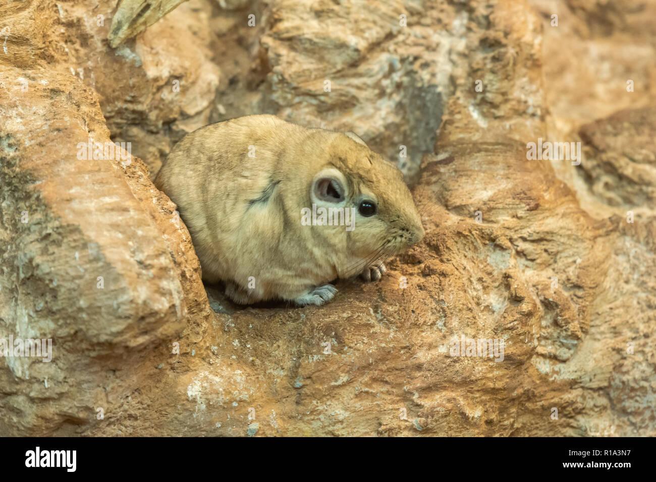 small rodent - Ctenodactylus gundi - Stock Image